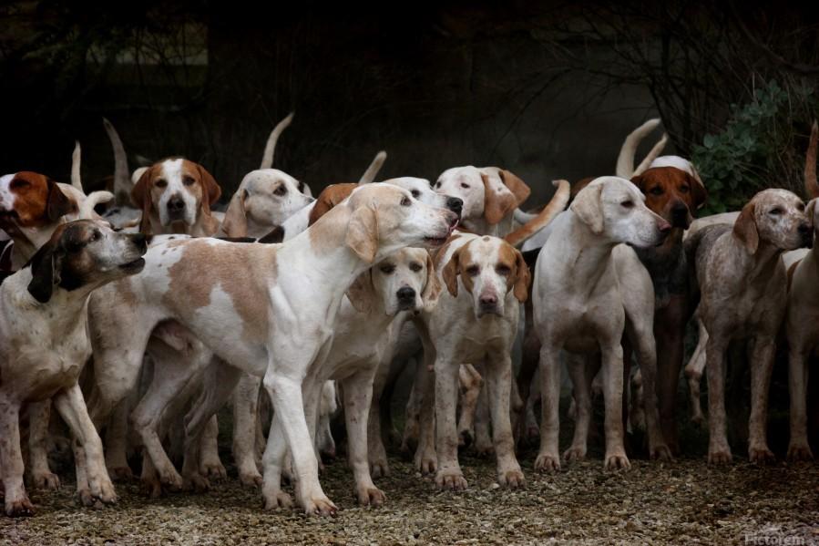 dog herd canine animal pet hounds  Print