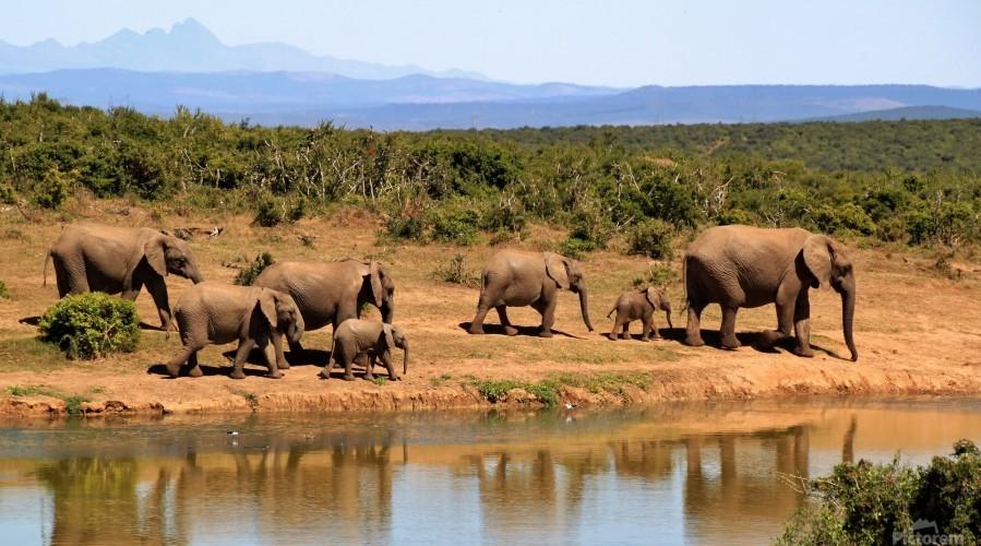 elephant herd of elephants  Print