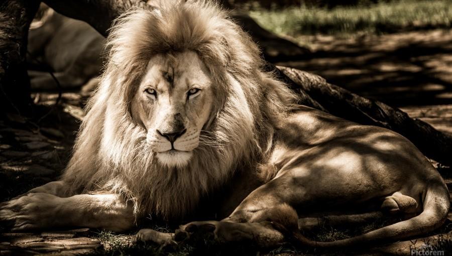 mammal lion animal portrait  Print
