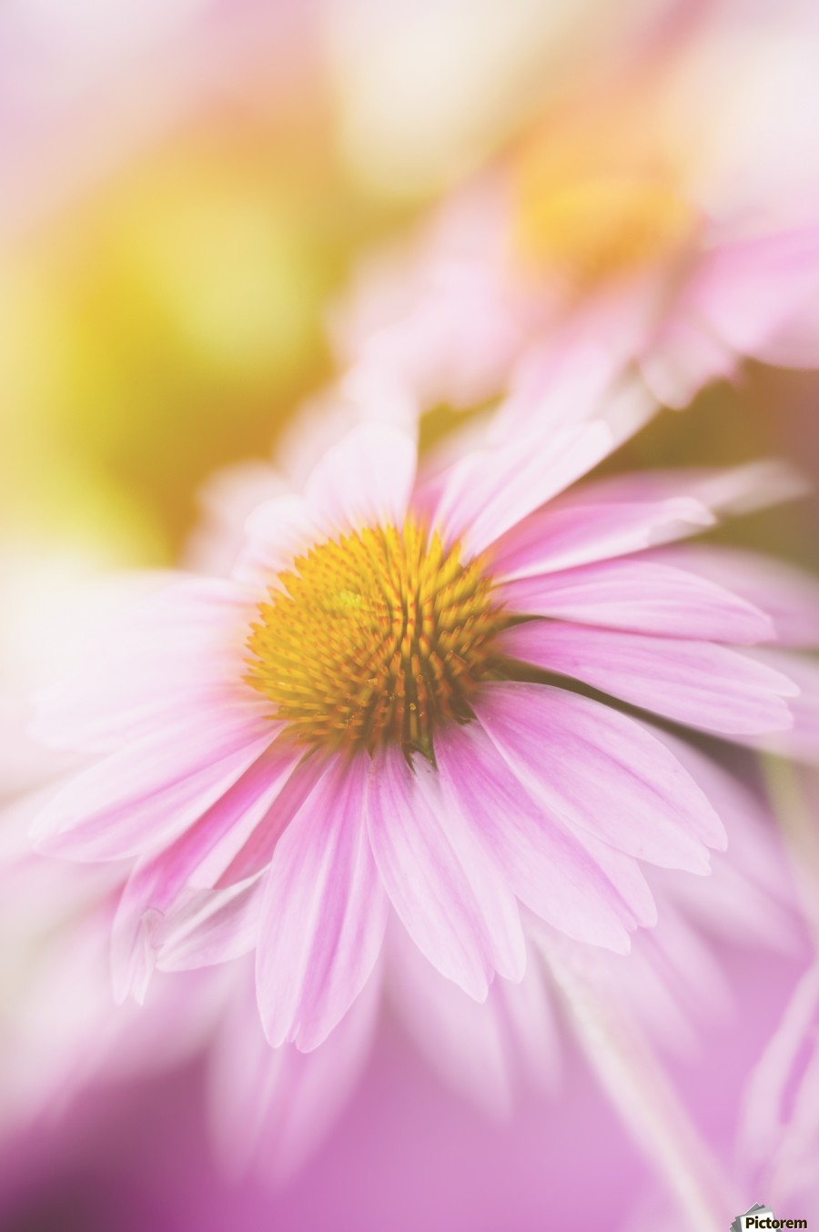 Dreamy Pink Coneflower   Print