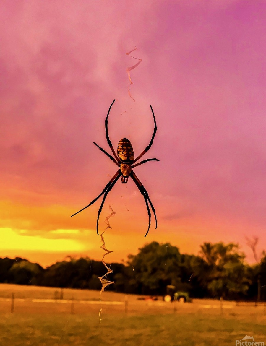 Banana Spider in Cat Spring TX  Print
