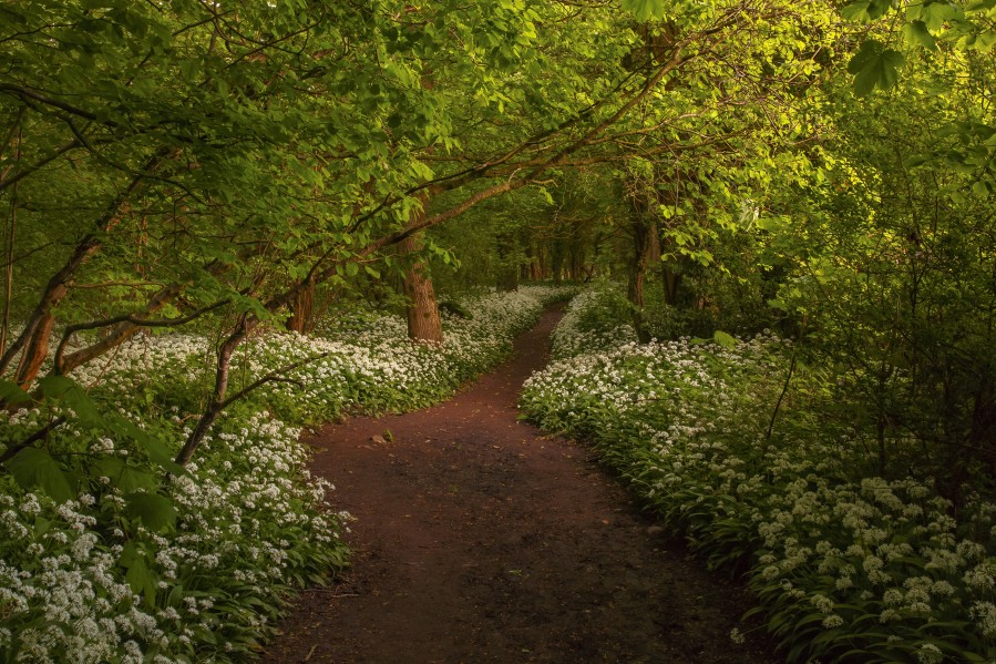 The Path to Fairytales, Ramsons Wood, Lancashire, UK  Print