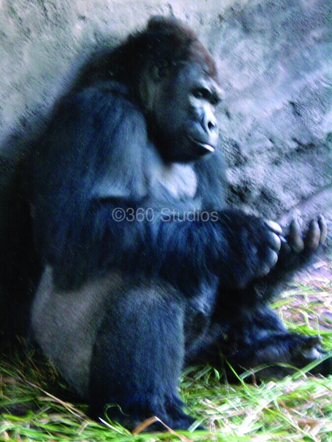 Alone Mountain Gorilla Africa  Print