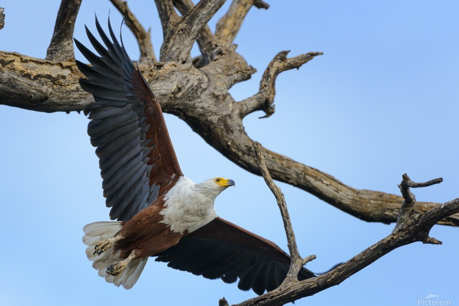 african fish eagle  Print