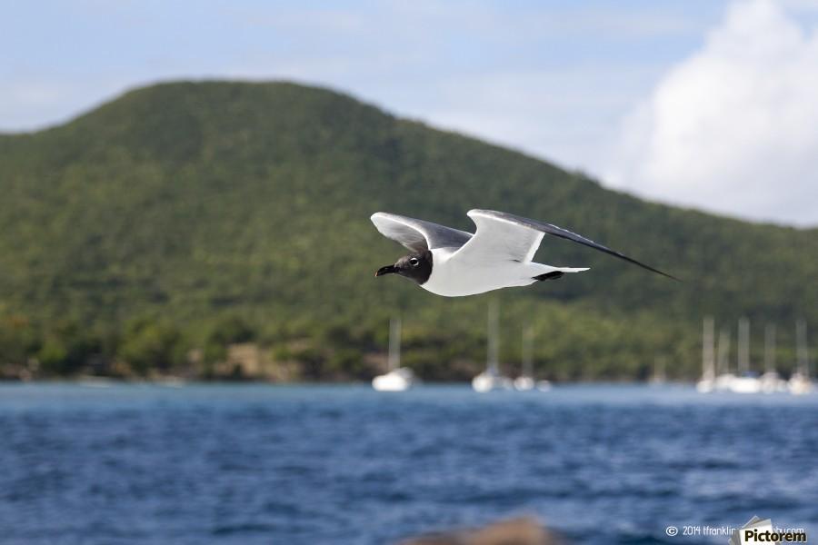 Laughing Tern in Flight  Print