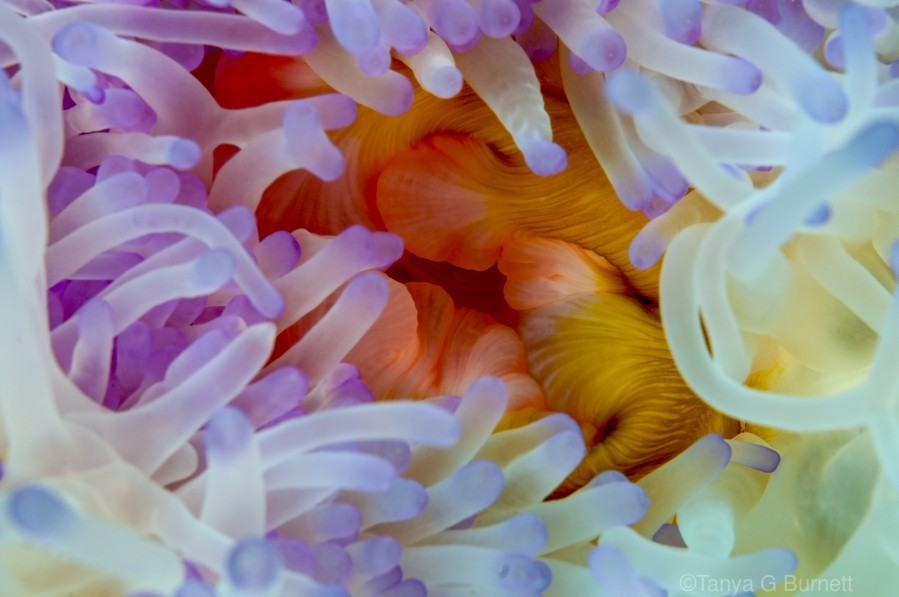 Sea Anemone 5  Print