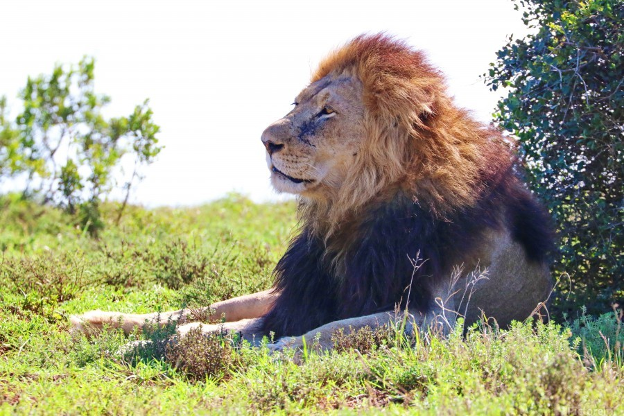 Lion Male in Addo 9240  Print