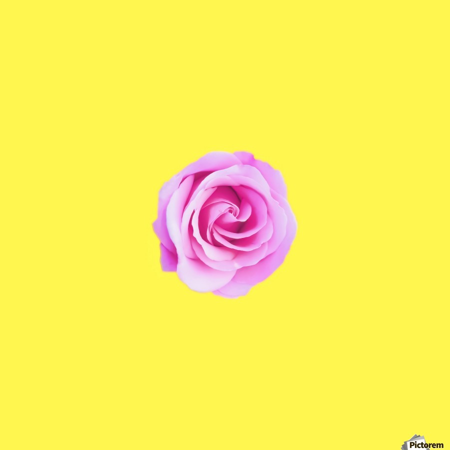 closeup pink rose with yellow background  Print