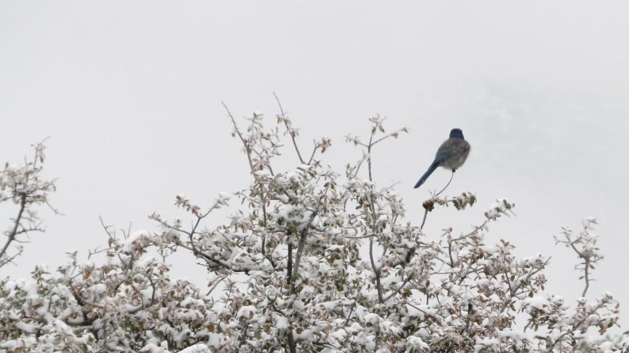 Bluebird in Snow 3VP  Print