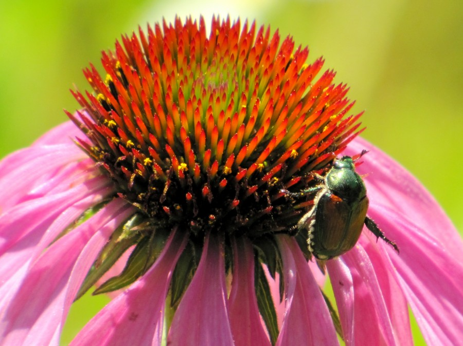 Echinacea and the Bee in Lincoln Park VP6  Print