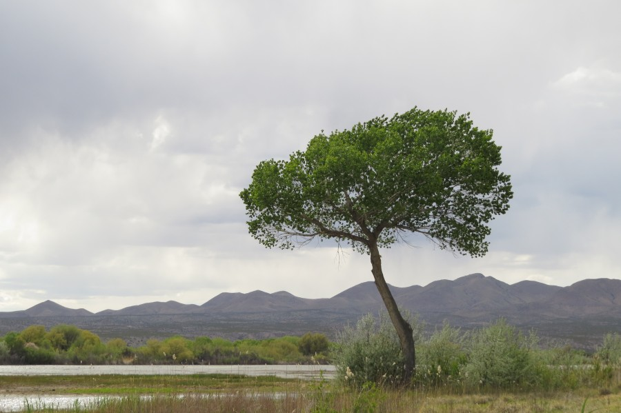Tree at the Bosque de Apache Wildlife Sanctuary VP1  Print