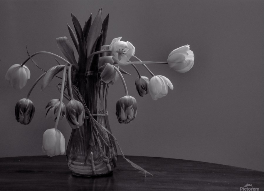 Tired tulips  Print