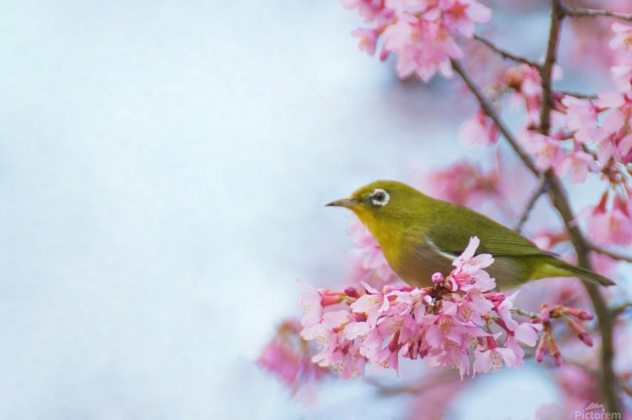 Bird In Sakura Cherry Blossom Tree  Print