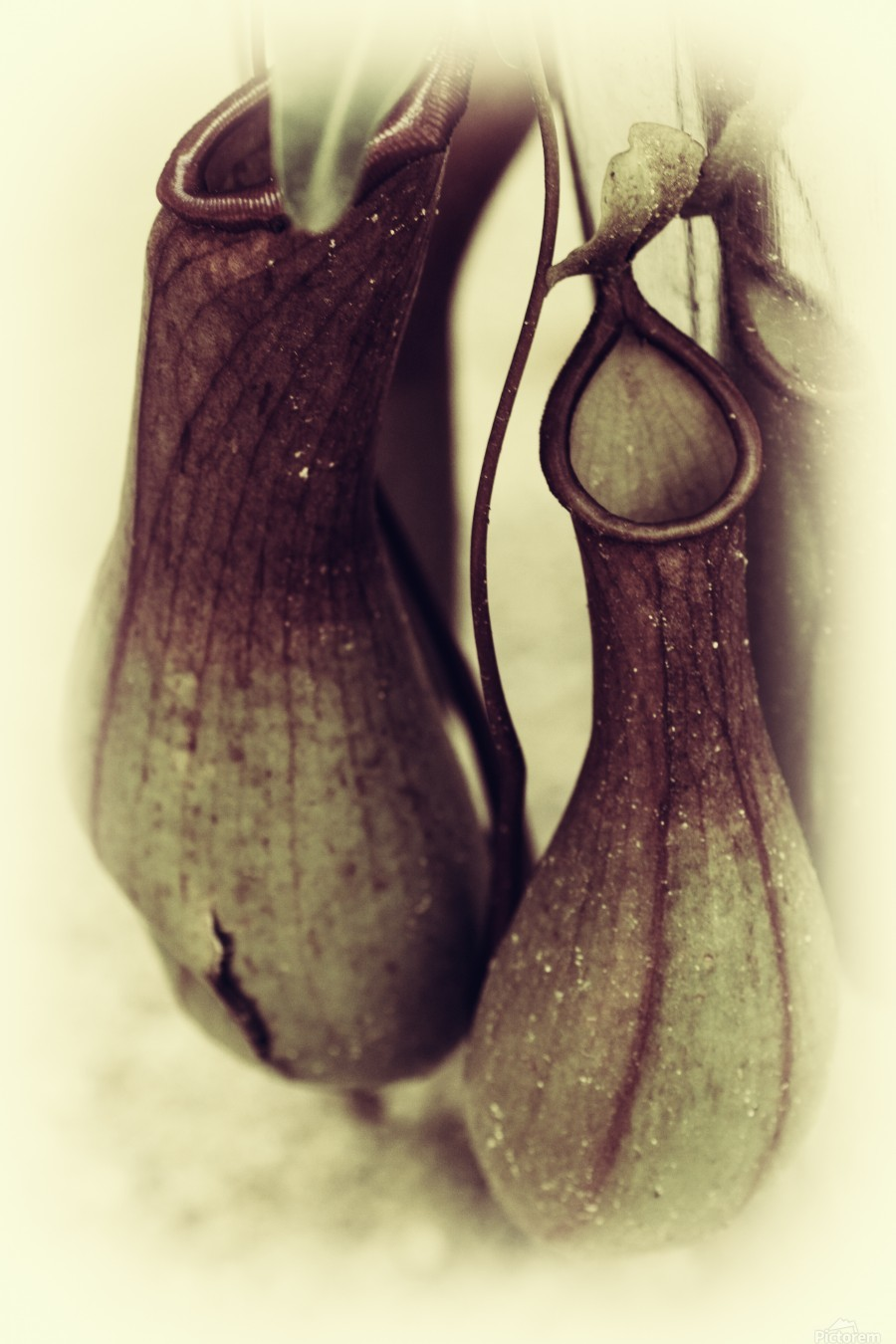 Nepenthes  Print