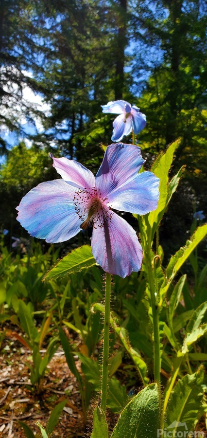 Poppy Blue  Print