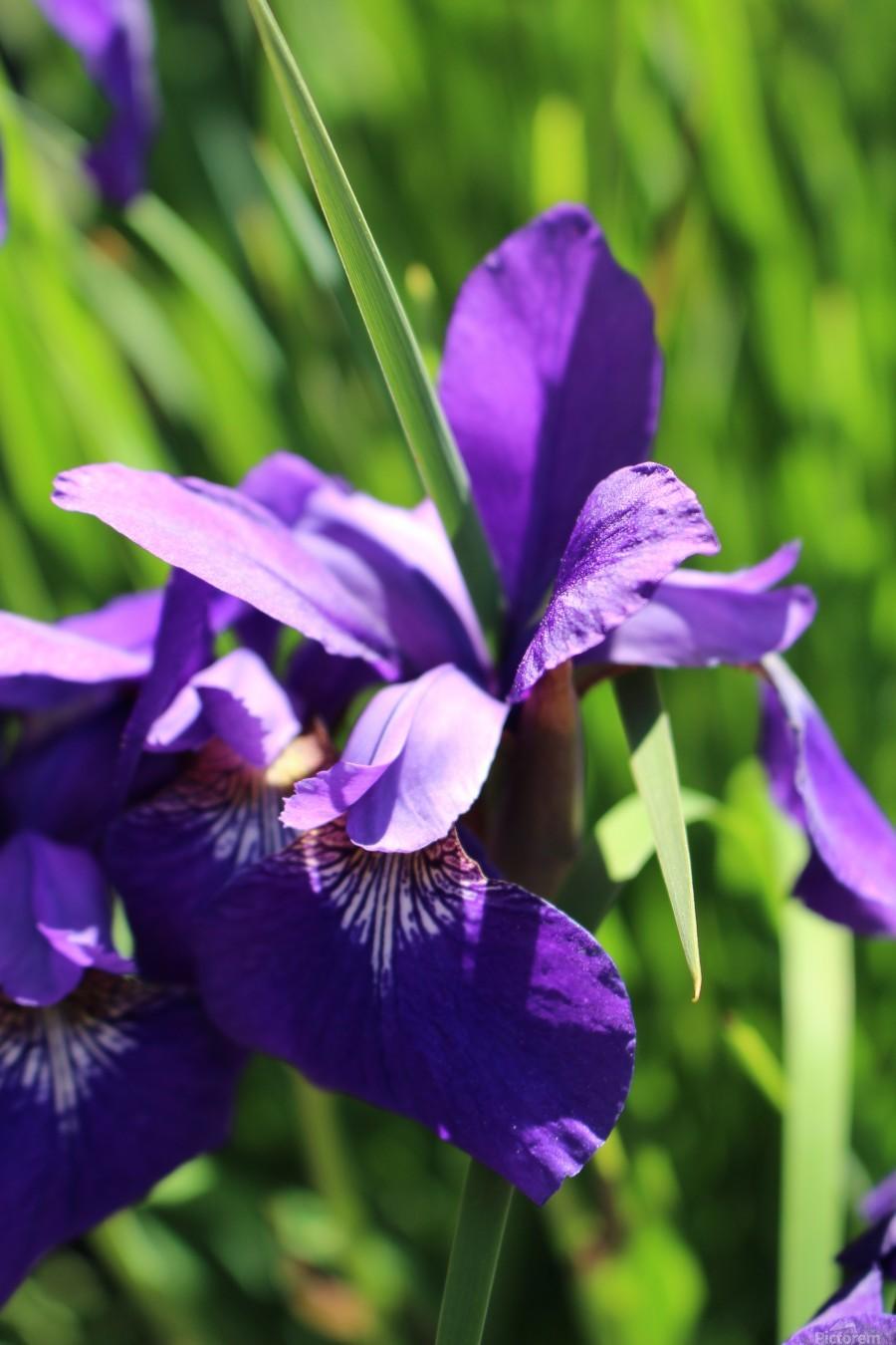 Purple Iris  Imprimer