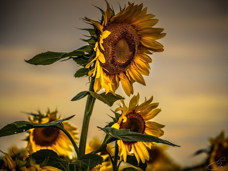 Gone with the Sunflowers  Print