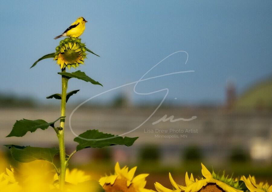 Sunflower Perch  Print