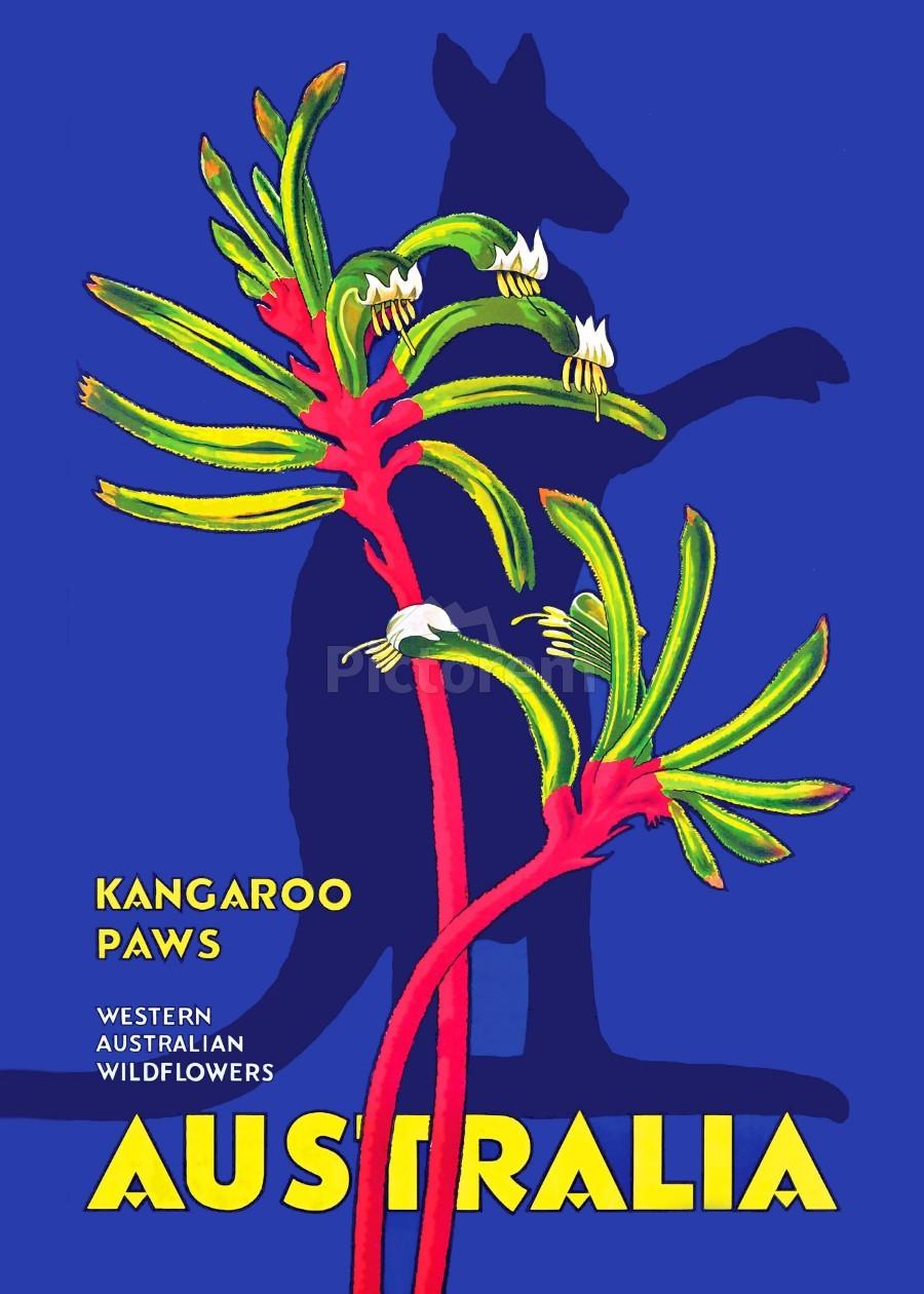 Kangaroo Paws Australia  Print