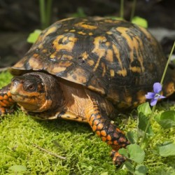 Eastern box turtle on sphagnum moss among blue violets; Connecticut, USA