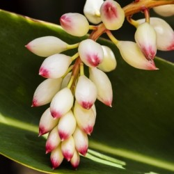 Close-up of white ginger flower Alpinia; Maui, Hawaii, United States of America