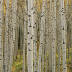 Aspen Grove In Fall, Kebler Pass, Colorado
