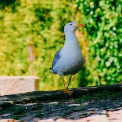 Seagull in Porto Portugal