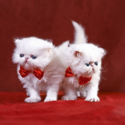 White Persian Kittens with bow ties