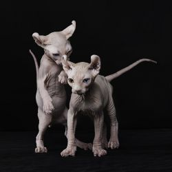 Elf Sphinx kittens