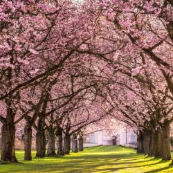 Cherry Blossom in a Park