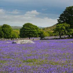 Emsworthy bluebells