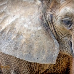Elephant - AP 3132