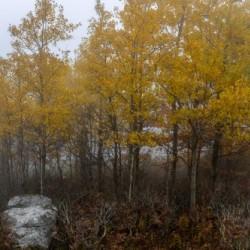 Aspen in Fog apmi 1822
