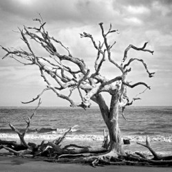 Driftwood Beach Lone Tree in Black and White