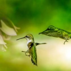 Emerald Hummingbirds