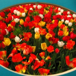 Parade of Tulips