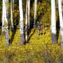 Baby Deer in Old Aspen Trees