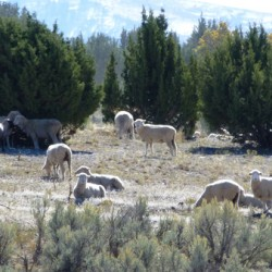 Sheep Juniper