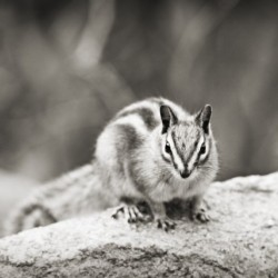Chipmunk in Black and White