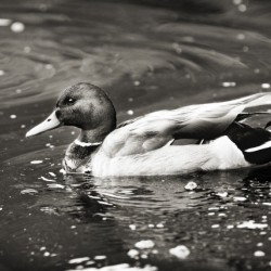 Duck in Black and White