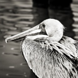 Pelican 1 in Black and White