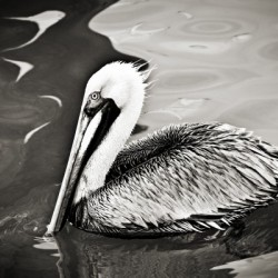 Pelican 2 in Black and White