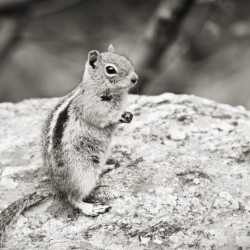 Chipmunk 2 in Black and White
