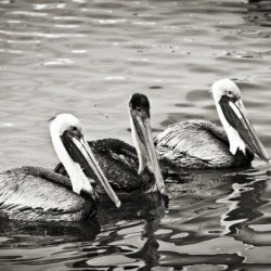 Pelicans in Black and White