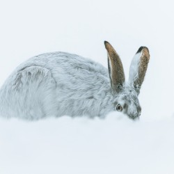 Cold out Hare