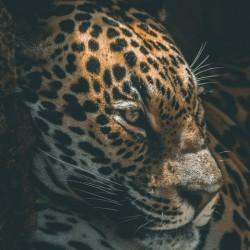 Cave Leopard