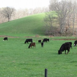 Cows Lullaby