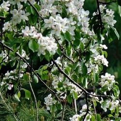 DazzleBlossoms