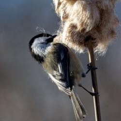Chickadee and Cattail