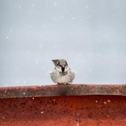 Snowy Sparrow